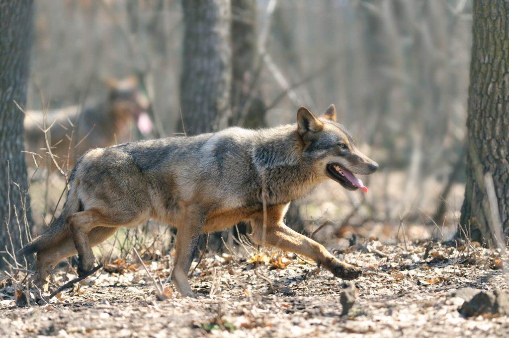 wolf watching Romania