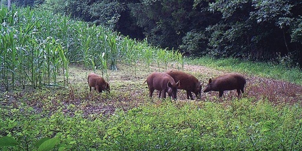 Wild boars Romania
