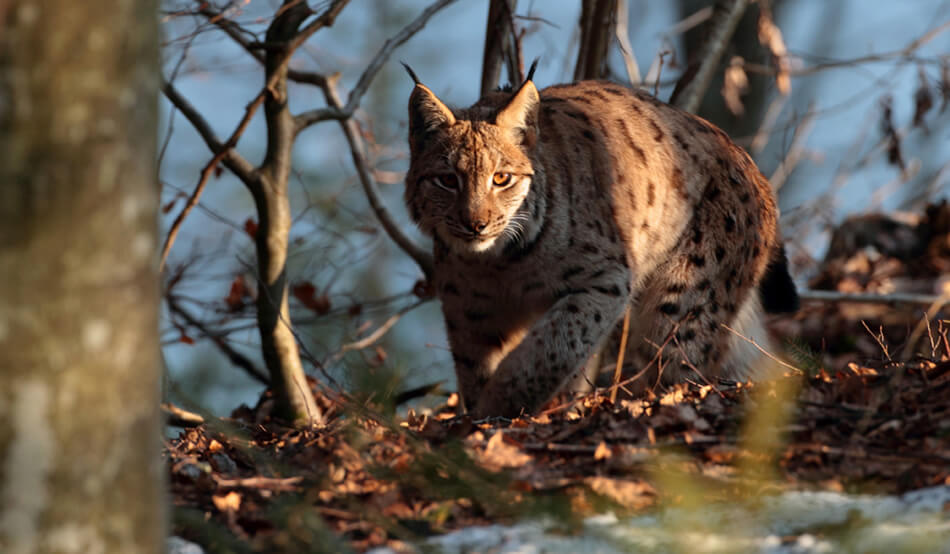 Lynx watching Romania wildlife tours