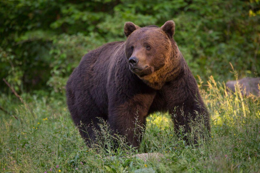 Brown bear watching Romania