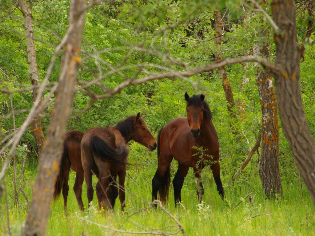 wild horses danube delta