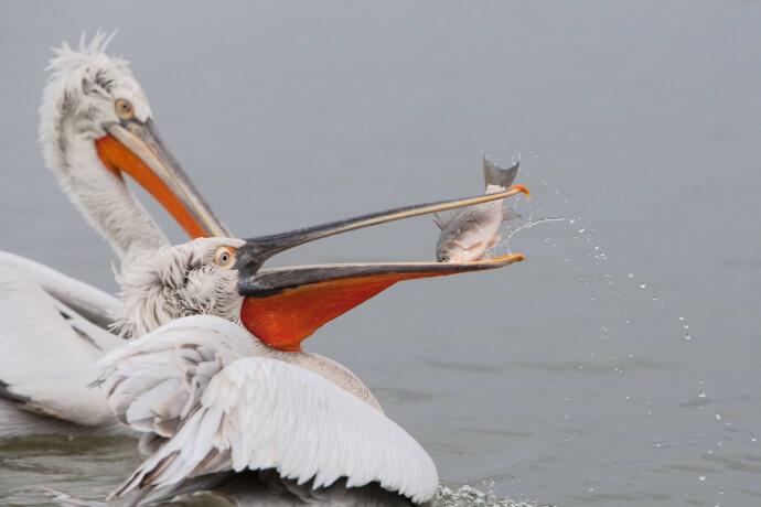 dalmatian pelican danube delta