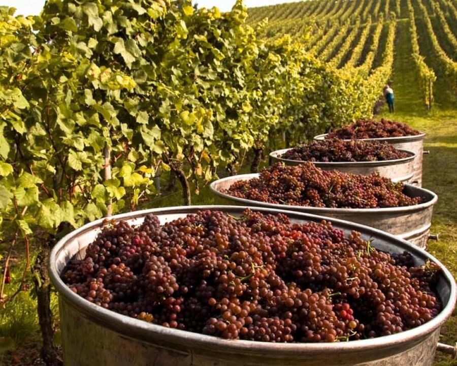 Moldova vineyard