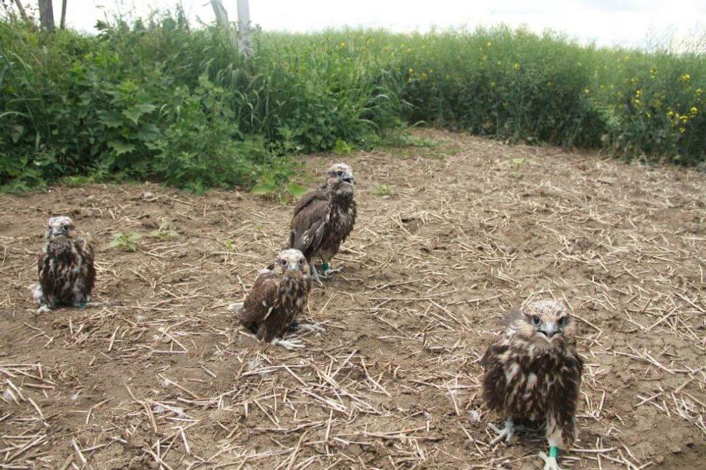 saker falcon danube delta tours