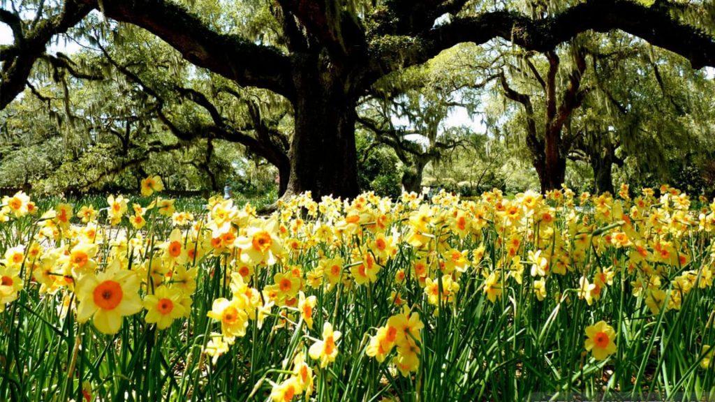 Daffodil glade Brasov Romania